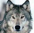 西北狼一号